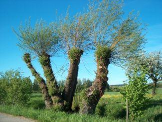 Das obere Wappenzeichen die Felbe - Weidenbaum